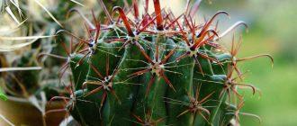 кактус ферокактус