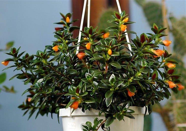 гипоцирта комнатные растения