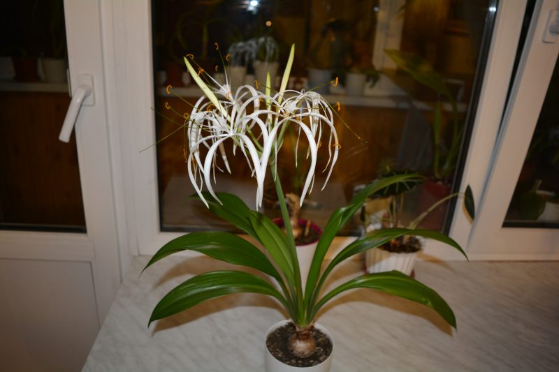 гименокаллис карибский комнатные растения