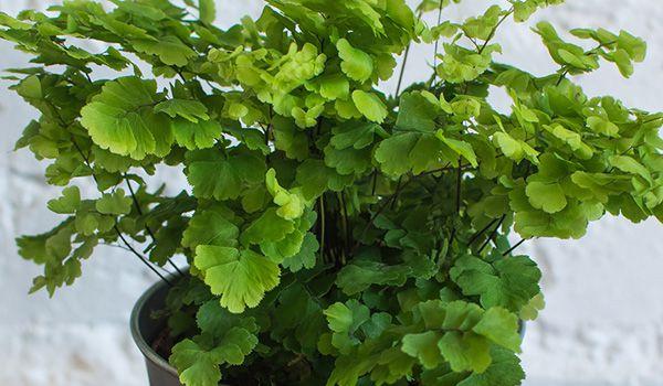 растение адиантум