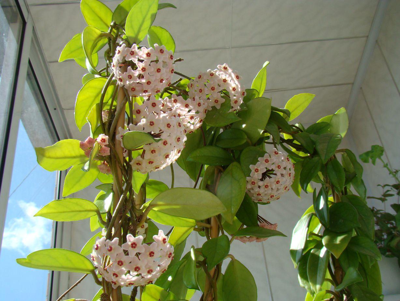 комнатное растение хойя