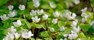 цветок оксалис кислица