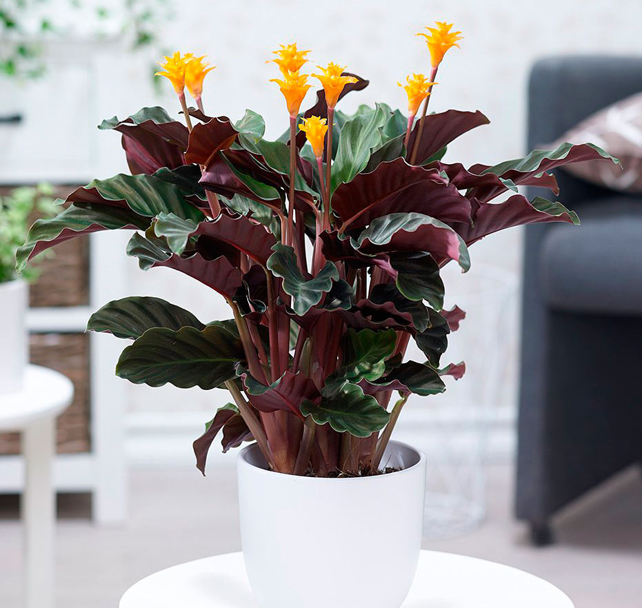 комнатные цветы уход в домашних условиях фото особенность белый