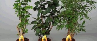 растение полисциас