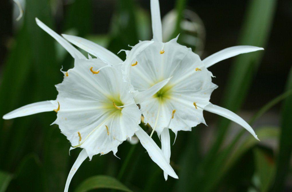 растение гименокаллис