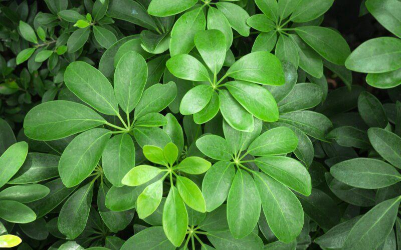 комнатное растение гептаплеурум