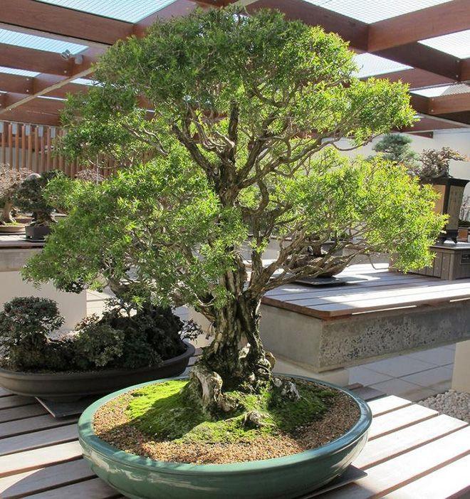 Чайное дерево в саду