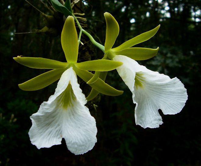 Энциклия цветы