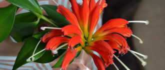 Цветок эсхинантус