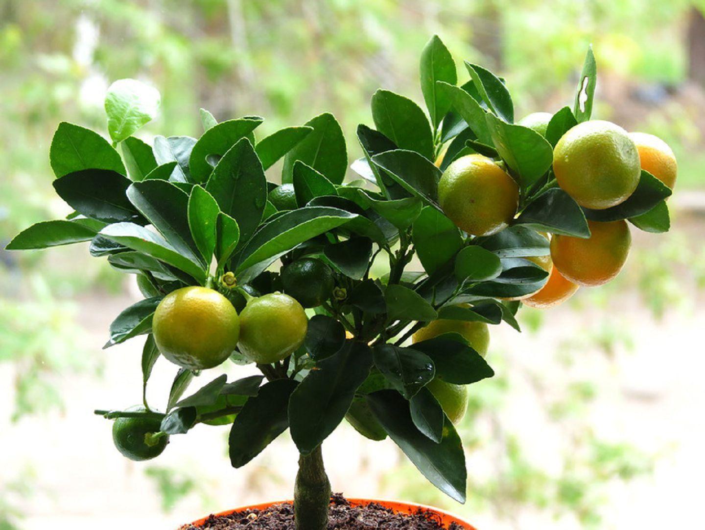 каламондин плоды