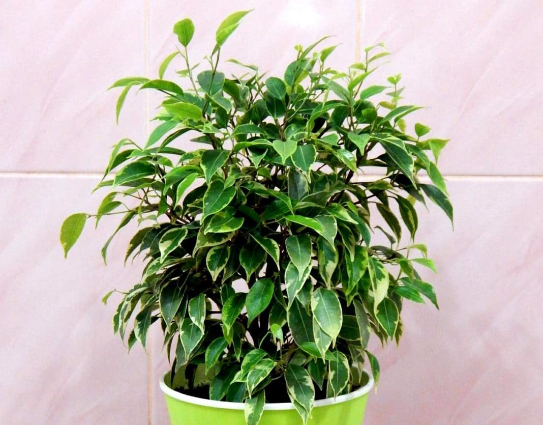 листья фикуса бенджамина