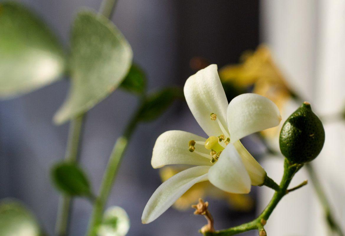 мурайя цветок