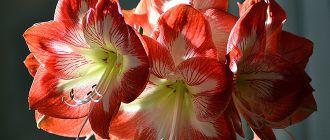 Цветок Амараллис