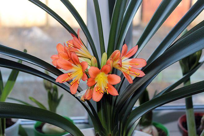 цветы Кливия