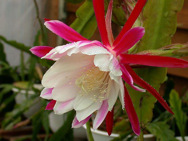 Цветение эпифиллума