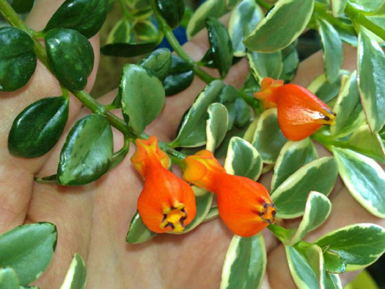 нематантус цветок