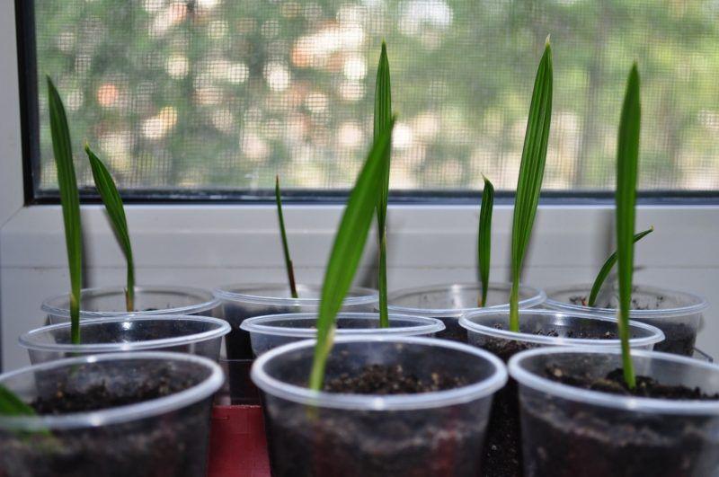 посадить косточки фиников