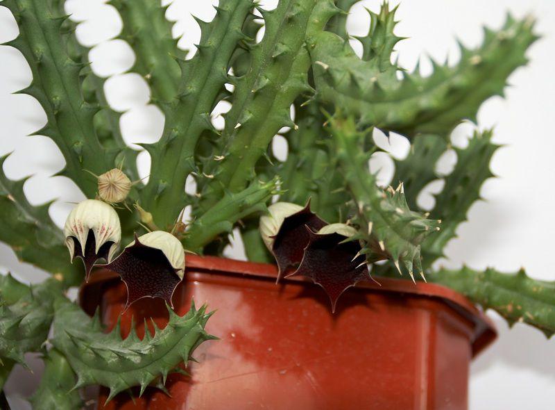 гуэрния комнатные растения