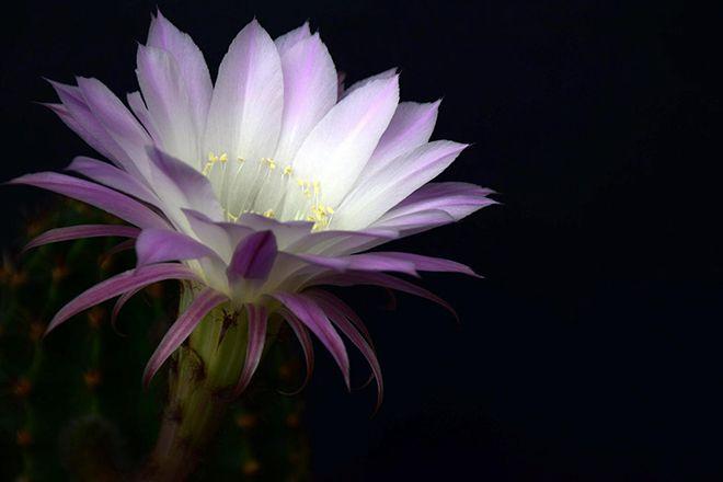 Эхинопсис цветок