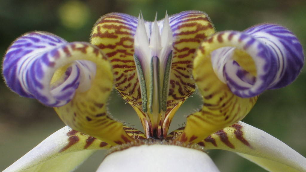 цветок неомарика фото