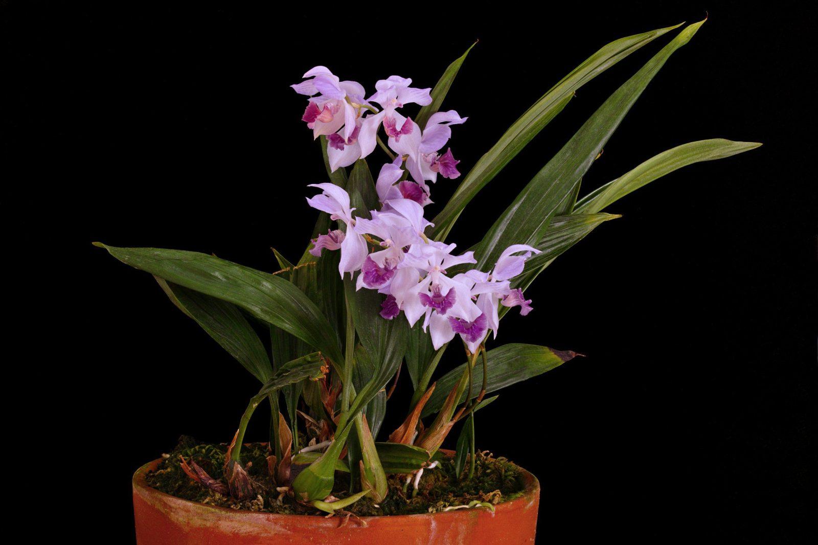 Уход за орхидеи Аганизия