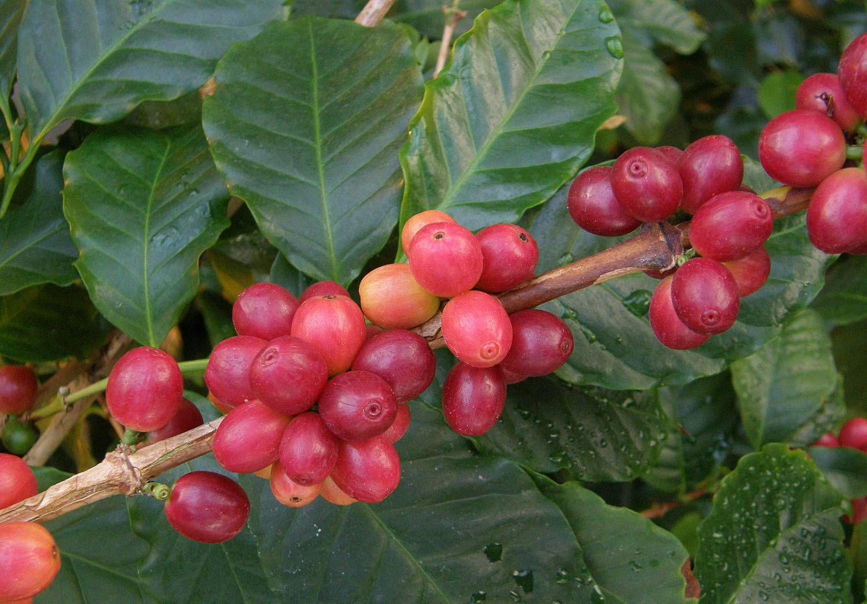 Кофейное дерево: описание, выращивание, уход