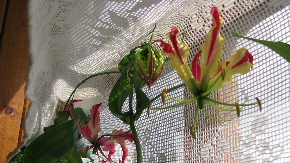 цветы глориоза посадка и уход