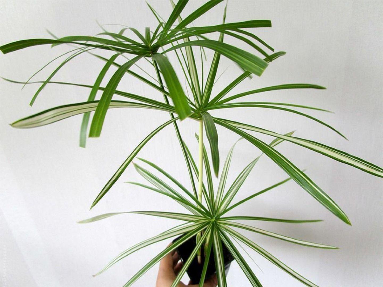 Циперус растение: описание и уход в домашних условиях