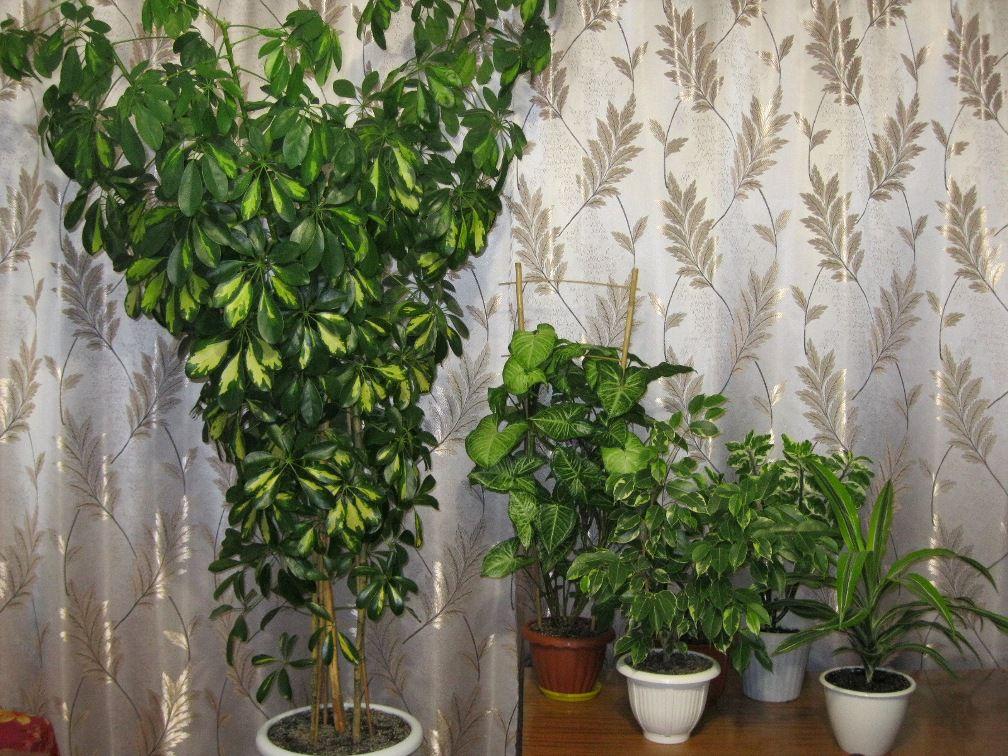 растение гептаплеурум