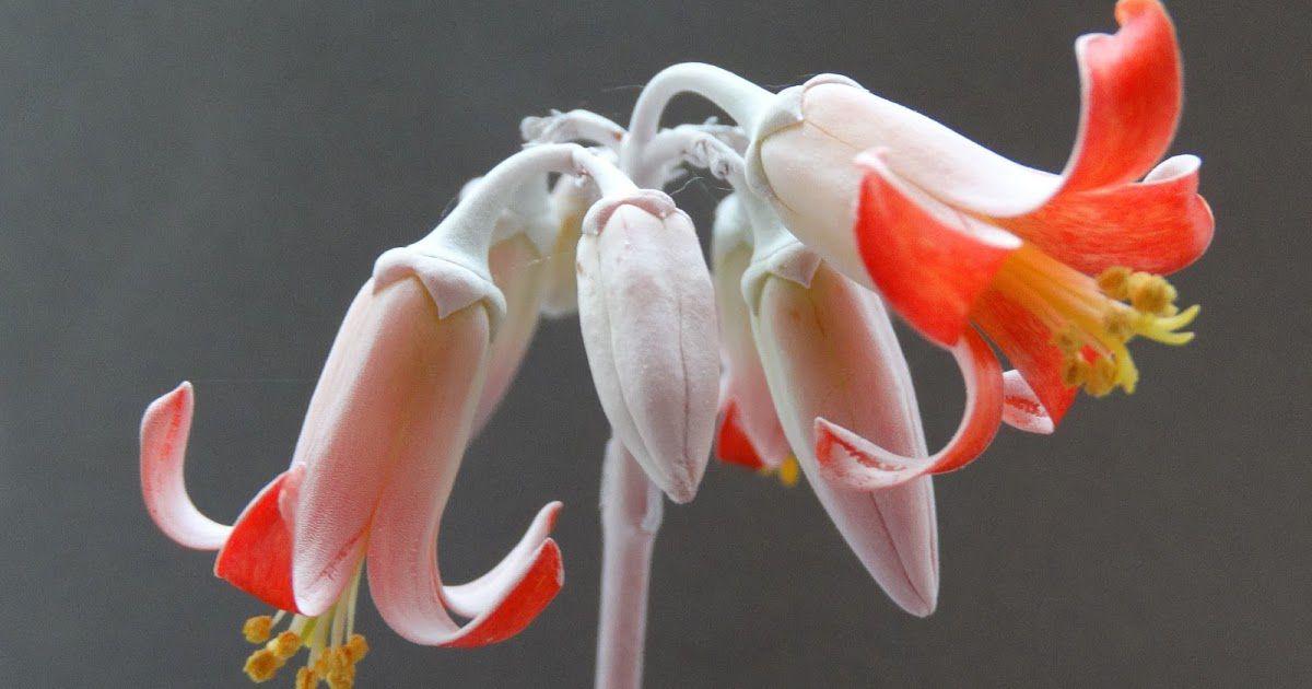 цветок котиледон