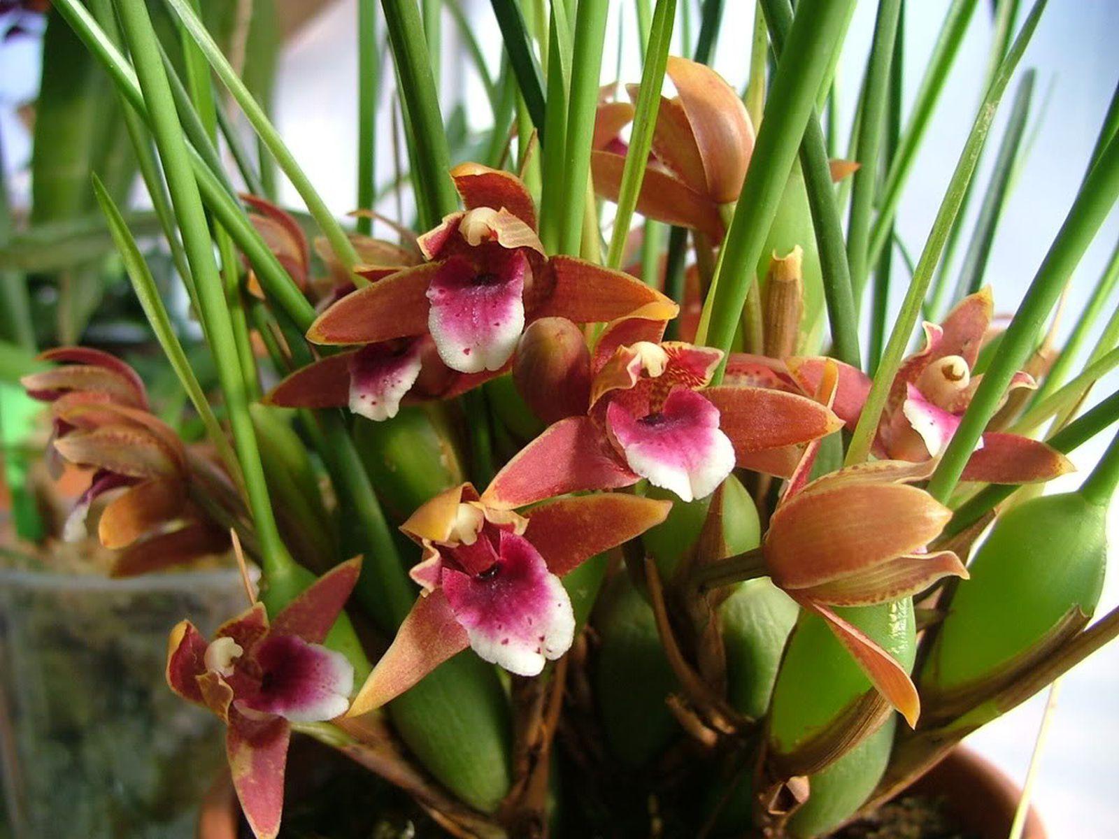 орхидея максиллярия уход