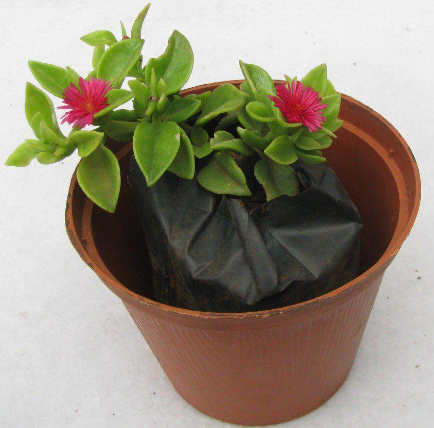 растение аптения