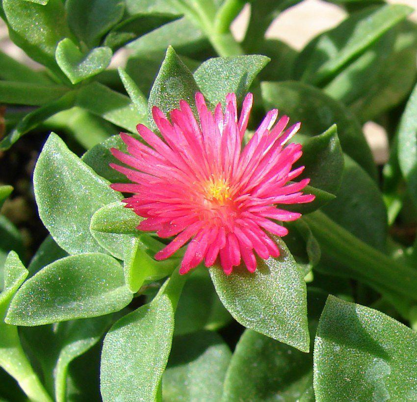 цветок аптения фото