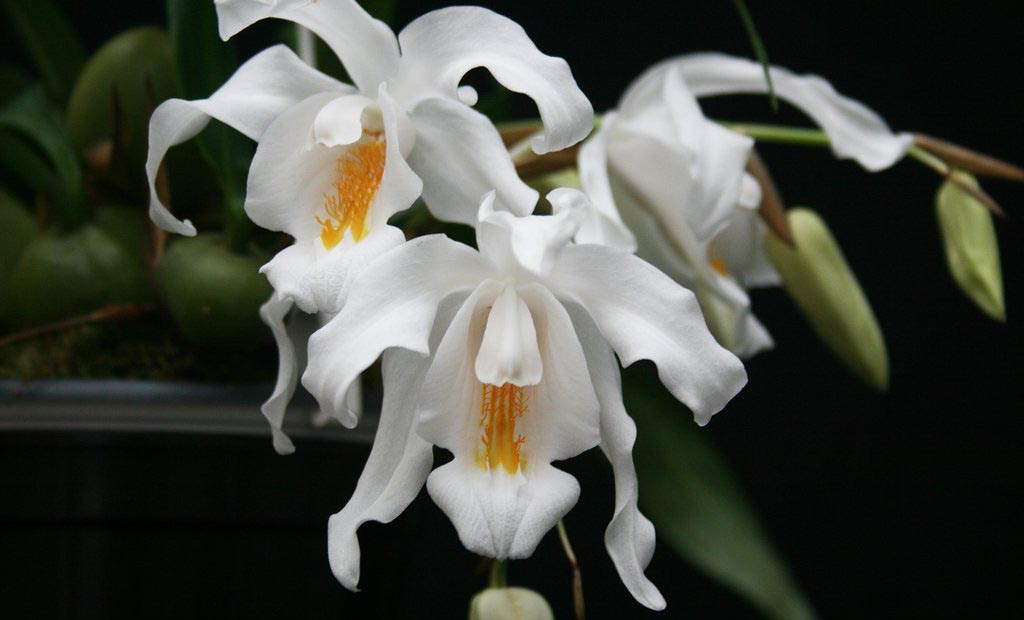 орхидея целогина уход в домашних условиях