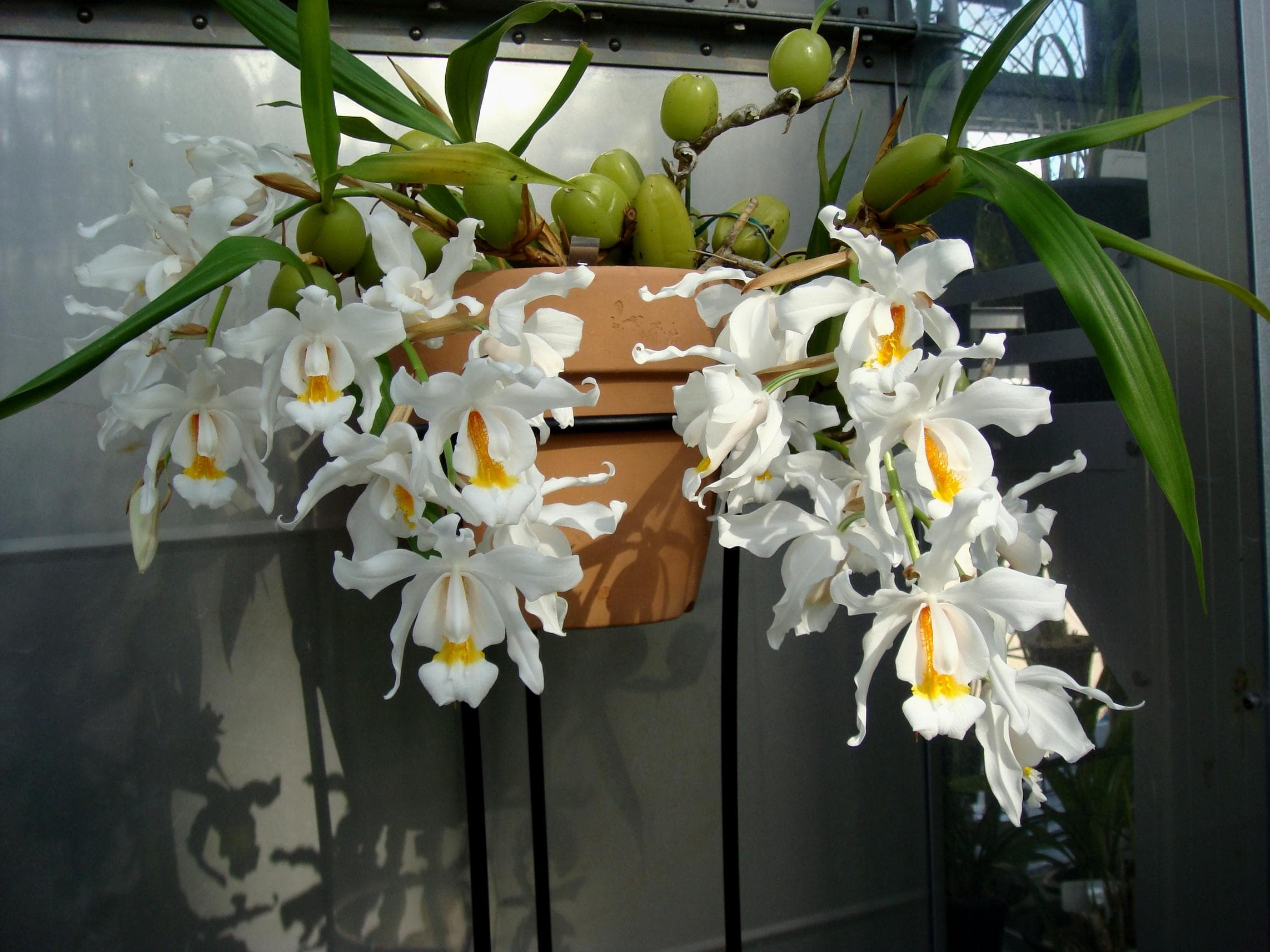 орхидея целогина кристата