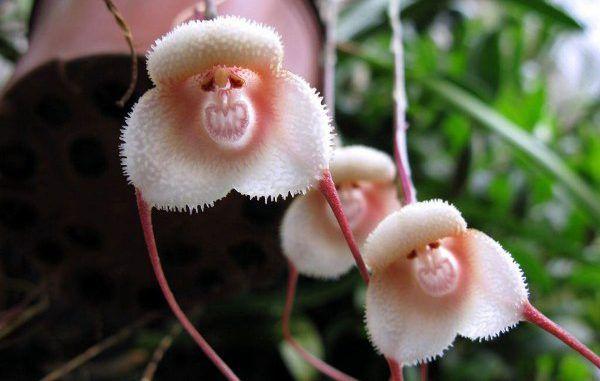 орхидея дракула уход в домашних условиях