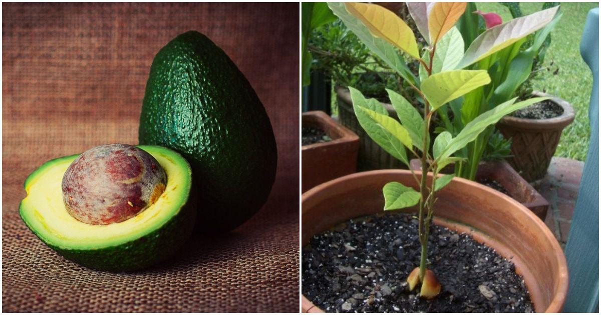 выращиваем авокадо из косточки в домашних условиях