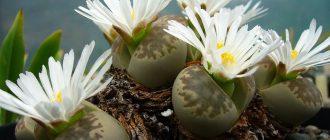 выращивание литопсов из семян