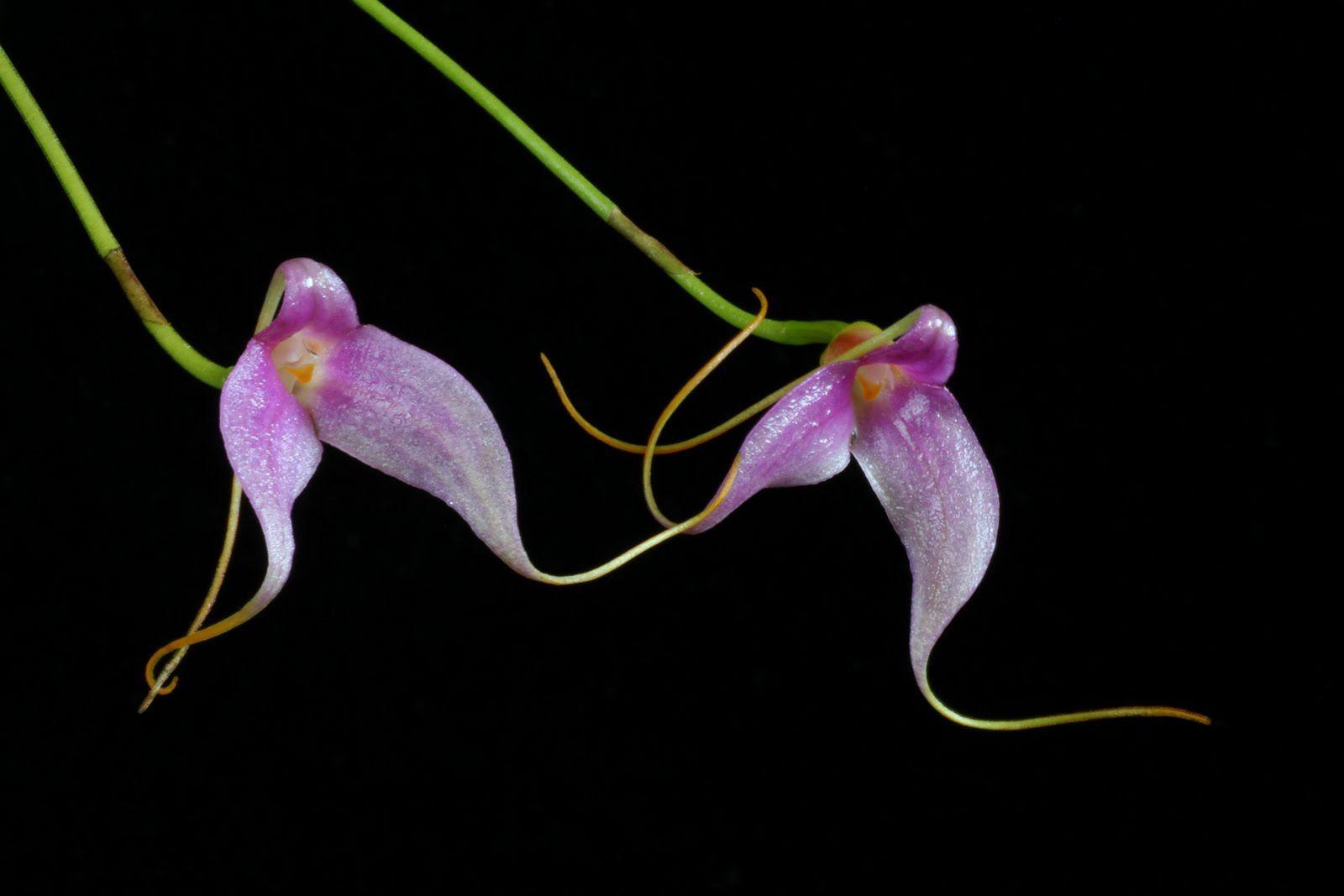 орхидея масдеваллия уход в домашних условиях