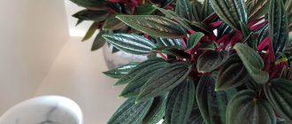 листья пеперомии