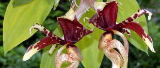 орхидеи стангопея