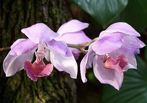 паразиты орхидеи Аганизия