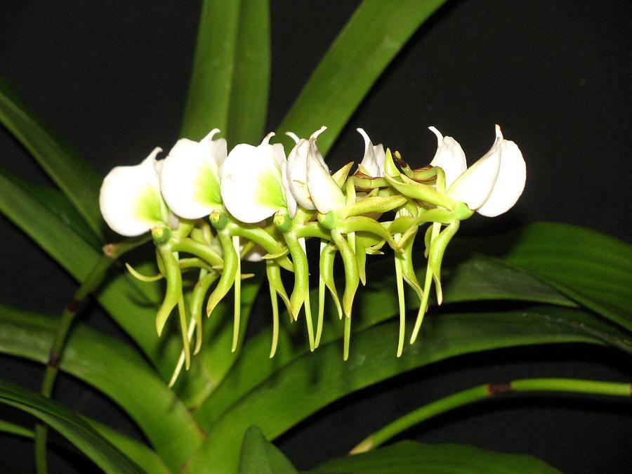 орхидея ангрекум купить