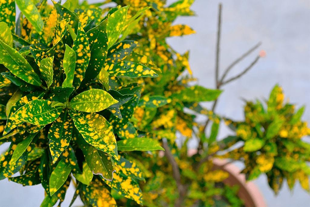 листья аукубы