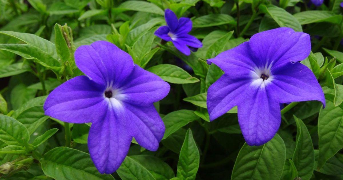 цветы бровалия