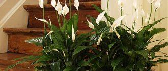 Цветок Спатифиллум в доме