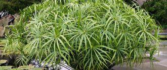 Растение Циперус фото