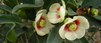 цветок клузия