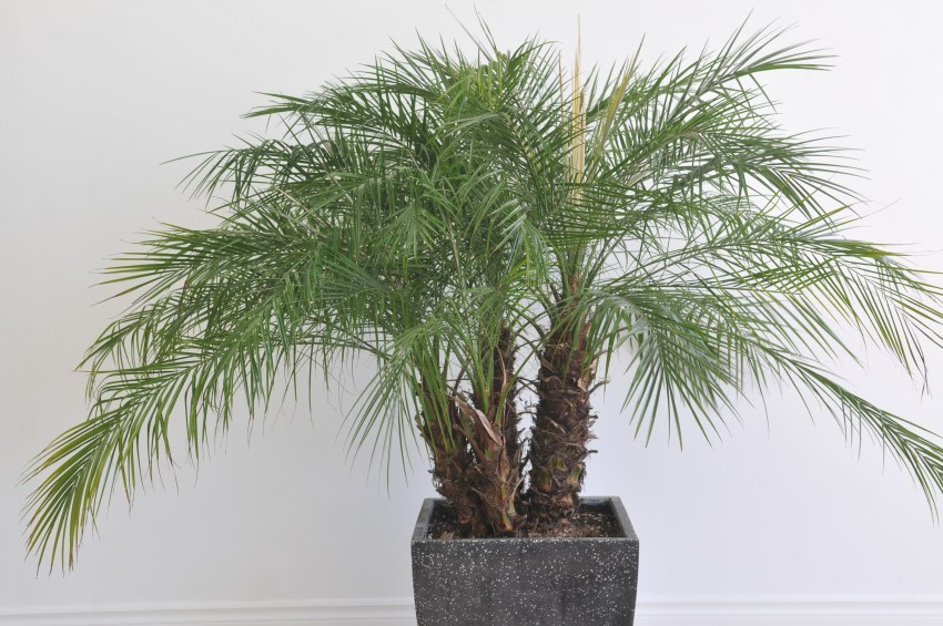 комнатные растения пальмы уход