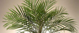 домашние комнатные пальмы